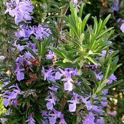 4306129 Rosmarinus officinalis 20