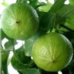 91022 Citrus bergamia