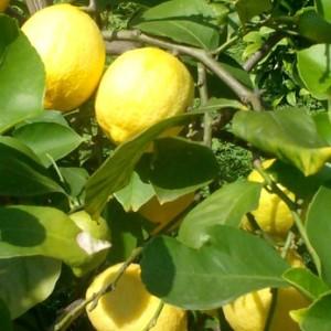 91032 Citrus limonum