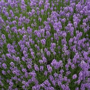 91121 Lavandula angustifolia