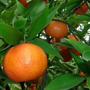 9113220 Citrus reticulate rot