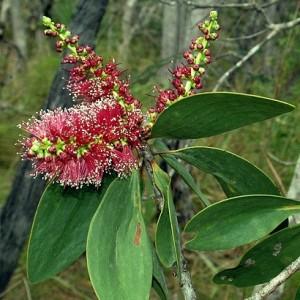91141 Melaleuca viridiflora