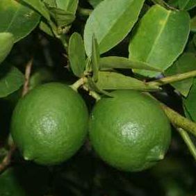 91123 Citrus aurantifolia
