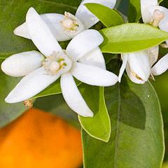 91142 Citrus aurantium bloemen