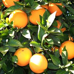 91142 Citrus aurantium