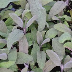 91195 Salvia officinalis